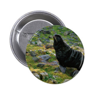 Fur seal pinback button