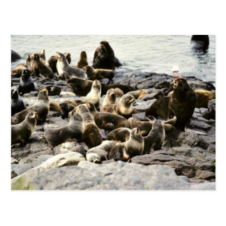 Fur Seal Colony at Haulout Postcard
