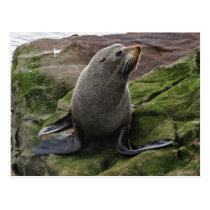 Fur Seal on Rocks Postcard