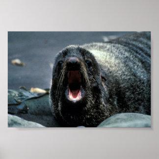 Fur Seal Portrait Posters
