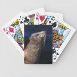 Fur seal sunbathing playing cards