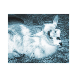 Furry small blue goat doeling baby right canvas print