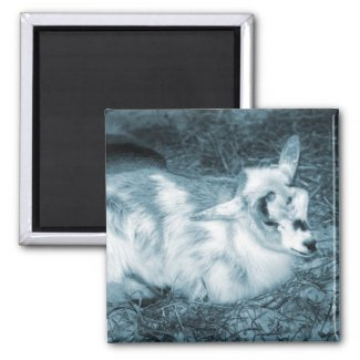 Furry small blue goat doeling baby right refrigerator magnets