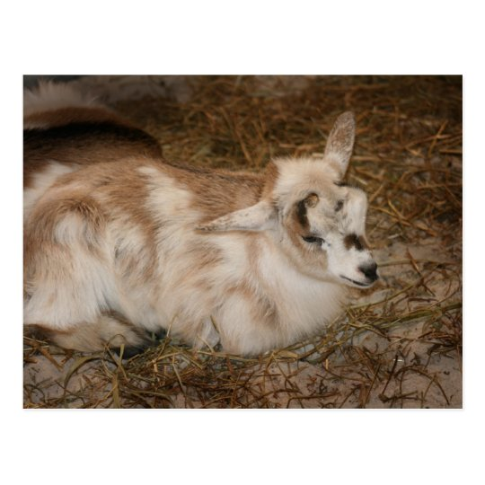Furry small goat doeling baby right postcard