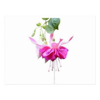 Fushia in pink postcard
