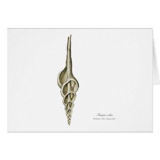 Fusinus colus card