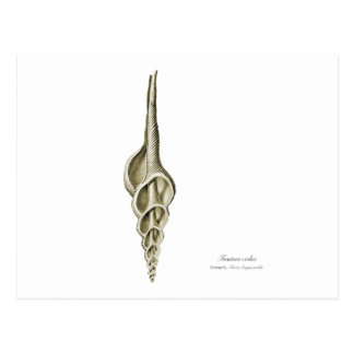 Fusinus colus postcard