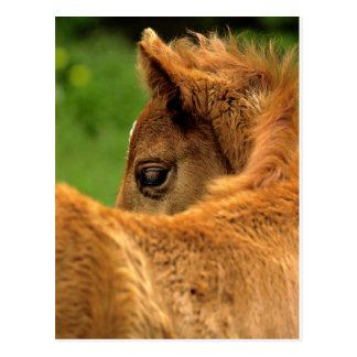 Fuzzy Baby Horse Postcard