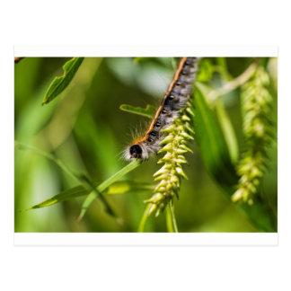 Fuzzy Eastern Tent Worm Caterpillar Postcard
