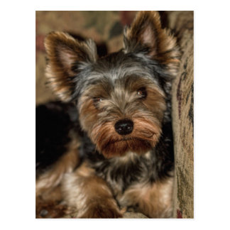 Fuzzy Face Yorkshire Terrier Postcard
