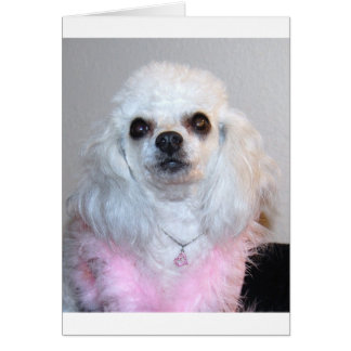 Gabby white poodle fancy dressed in Pink Card
