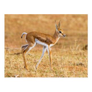 Gacela nuevamente llevada (marsupiales del postales