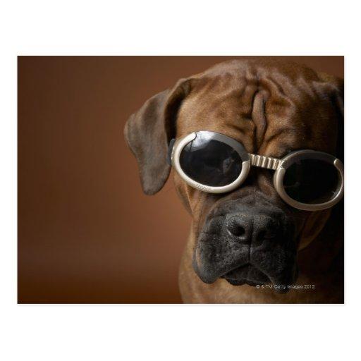 Gafas de sol que llevan 3 del perro tarjeta postal