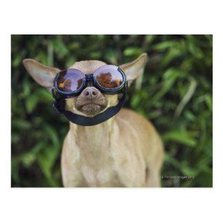 Gafas que llevan de la chihuahua tarjetas postales