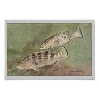 Gag & Black Grouper Vintage Fish Print Photo Print