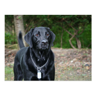 Gage - Black Labrador Postcard