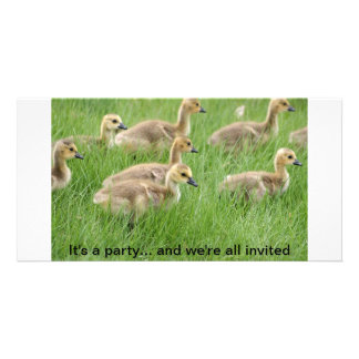 Gaggle of Baby Canada Geese or Goslings Photo Card