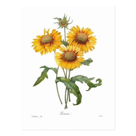 Gaillardia Postcard