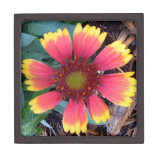 Gaillardia Pulchella Indian Blanket Flower Power 1 Premium Gift Box