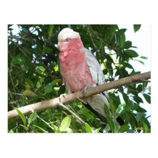 Galah (Rose Breasted/Roseate Cockatoo) Postcard