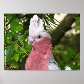 Galah (Rose Breasted/Roseate Cockatoo) Poster
