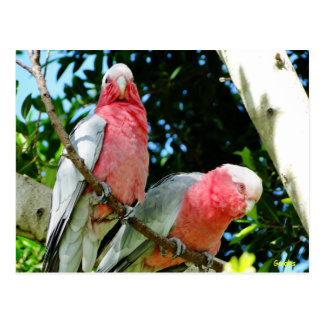 Galahs (Rose Breasted/Roseate Cockatoos) Postcard