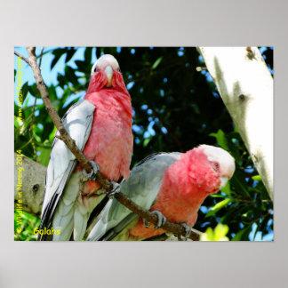 Galahs (Rose Breasted/Roseate Cockatoos) Poster