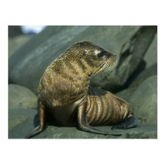 Galapagoensis del lobo marino, del Arctocephalus), Postal