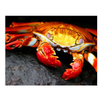 Galapagos Crab Postcard