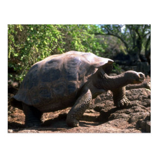 Galapagos Giant Tortoise (Dome-Shaped type) walkin Postcard