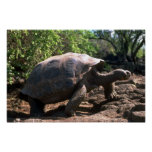 Galapagos Giant Tortoise (Dome-Shaped type) walkin Poster