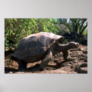 Galapagos Giant Tortoise (Dome-Shaped type) walkin Poster