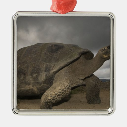 Galapagos Giant Tortoise Geochelone Christmas Ornament