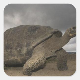 Galapagos Giant Tortoise Geochelone Square Sticker