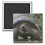 Galapagos Giant Tortoises Geochelone 2 Inch Square Magnet