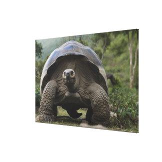 Galapagos Giant Tortoises Geochelone Canvas Print
