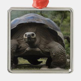 Galapagos Giant Tortoises Geochelone Metal Ornament