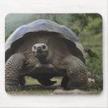 Galapagos Giant Tortoises Geochelone Mouse Pad