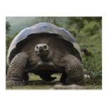 Galapagos Giant Tortoises Geochelone Post Card