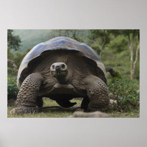 Galapagos Giant Tortoises Geochelone Posters