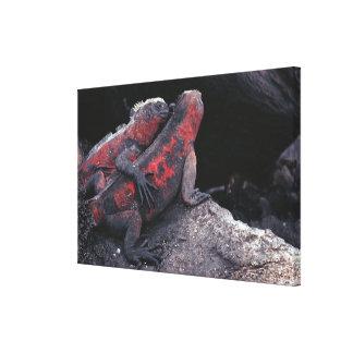 Galapagos iguana canvas print