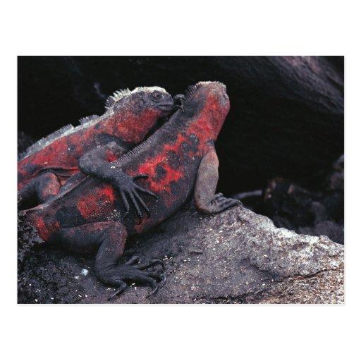 Galapagos iguana post card
