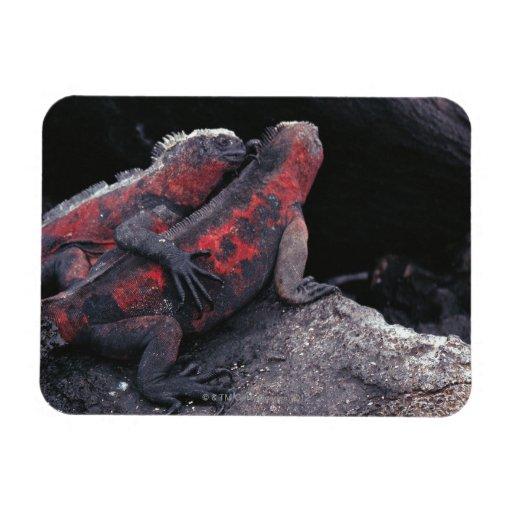 Galapagos iguana rectangular photo magnet