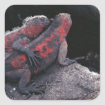 Galapagos iguana square sticker