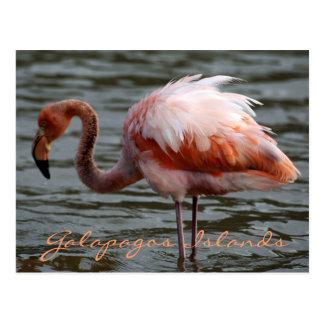 Galapagos Islands Flamingo Postcard
