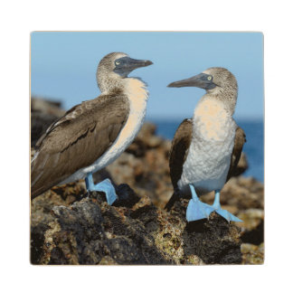 Galapagos Islands, Isabela Island Wooden Coaster