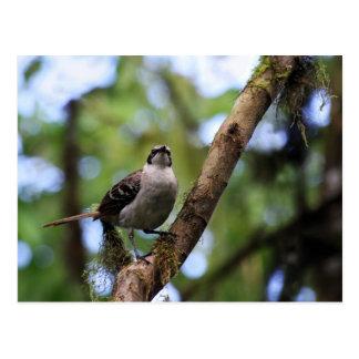 Galapagos Islands Mockingbird, Ecuador Postcard