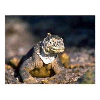 Galapagos Land Iguana-South Plaza Island Postcard