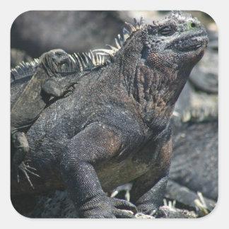 Galapagos Marine Iguana Square Sticker