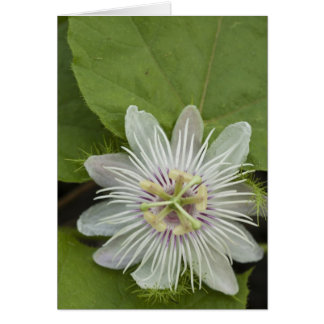 Galapagos Passion Flower Passiflora foetida Greeting Card